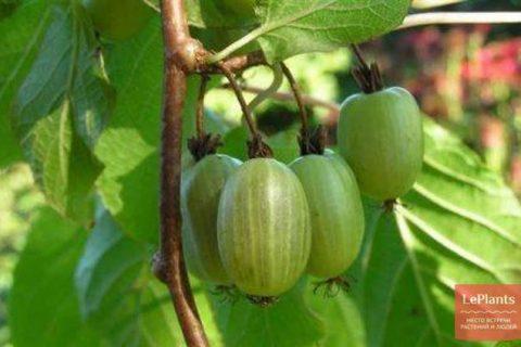 Королева Сада — сорт растения Актинидия