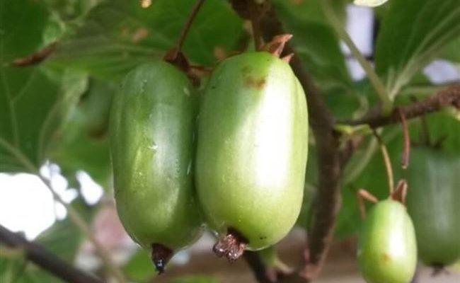 Актинидия Коломикта — описание лучших сортов и особенности выращивания