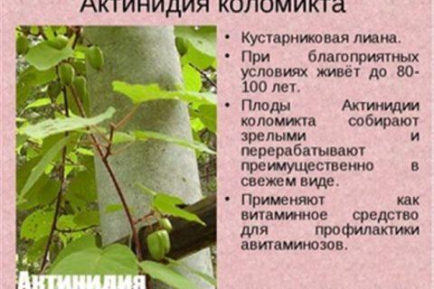 Ботанические характеристики актинидии и рекомендации по выращиванию лианы на дачном участке