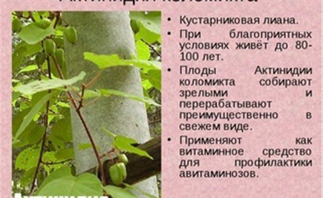 Актинидия острая 'Приморская' — описание сорта, характеристики