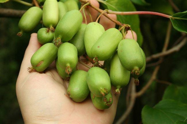 Таёжный Дар - сорт растения Актинидия