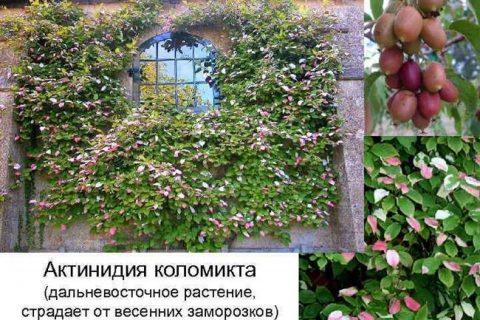 Актинидия коломикта: описание 5 лучших сортов, посадка и уход, отзывы с фото
