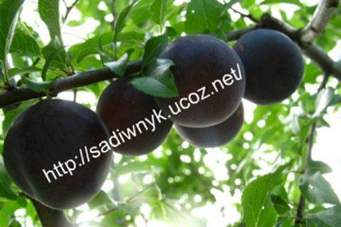 Алыча Кремень — описание сорта, фото и отзывы садоводов — Журнал «Совхозик»
