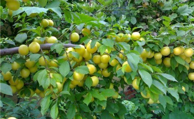 Алыча Мара — описание и выращивание