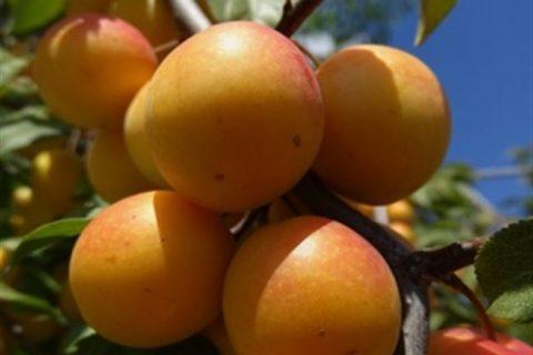 Сорт алычи Найдена, описание с фото, характеристика и отзывы, особенности выращивания
