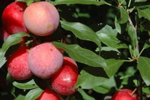 Лучшие сорта алычи для Подмосковья — 10 самых вкусных и урожайных, самоплодные, ранние, низкорослые, желтые, отзывы, правила выращивания