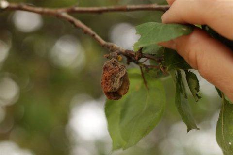 Абрикос – благодарная косточковая культур. Он скороплоден, активно развивается, не боится обрезки и легкого подмерзания, не предъявляет особых требований к грунту, отличается декоративным цветением и десертным вкусом плодов. Однако коварные болезни и прожорливые вредителимогут лишить садоводов вкусного и полезного урожая. Особенно поражениям подвержены деревья, которые растут на участке давно. По