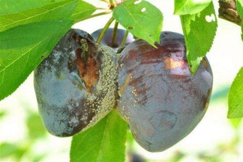 Разновидности болезней алычи и вредителей. Симптомы и лечение заболеваний. Какими средствами пользоваться. Профилактические меры для защиты садовых деревьев.