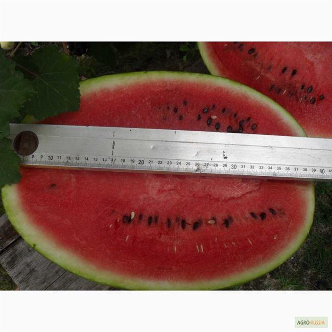 Раннеспелый гибридный арбуз «Атаман» с гигантскими плодами и неповторимым вкусом