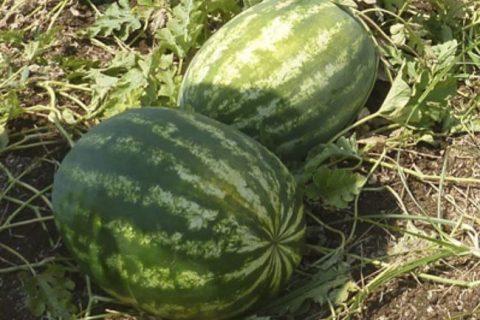 Подборка 5 сортов арбуза со средне ранним типом созревания | Огородники