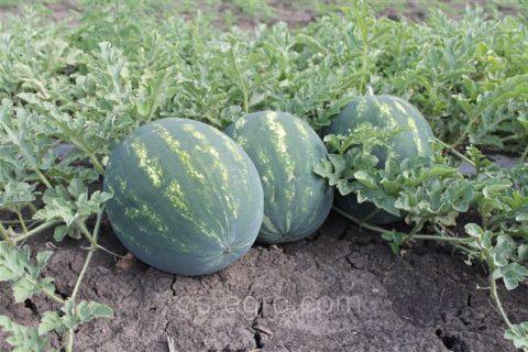 Каристан – арбуз раннего срока созревания с достойными вкусовыми характеристиками. Узнайте, чем интересен гибрид, как его посадить и выращивать, чтобы получить сочные и сладкие плоды?