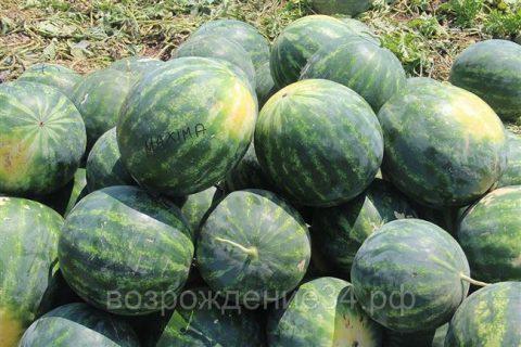 Максима — сорт растения Арбуз