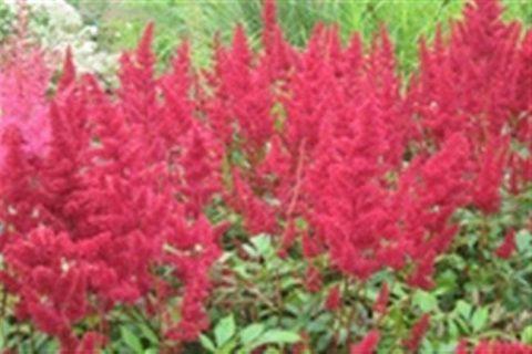 Астильба Fanal («Фанал») гибридная. Высота 50 см, цветки красные. Соцветия ромбические. Цветение в июне-июле. Листва темноватая, к лету зеленеет. Местоположение полутенистое.