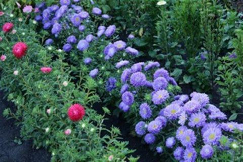 Астры: лучшие сорта, выращивание и размножение — Проект «Цветочки» — для цветоводов начинающих и профессионалов