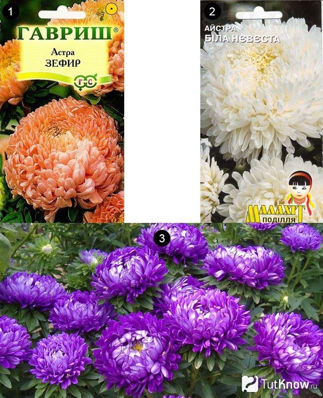 Богиня - сорт растения Астра однолетняя