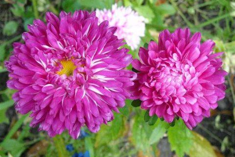 Однолетняя астра с махровыми цветками насыщенно-розового цвета