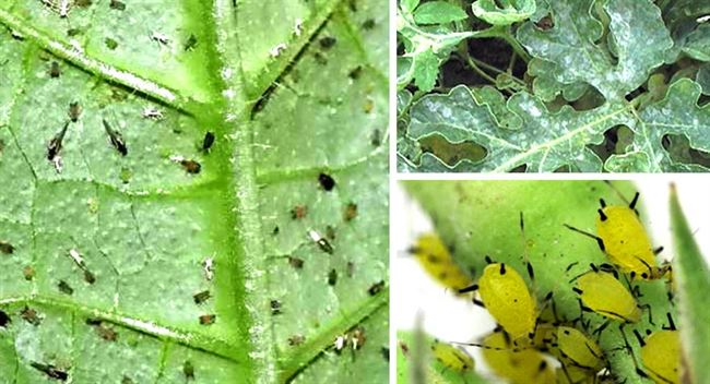 Болезни и вредители арбузов: распознаём и боремся, а также предупреждаем их появление