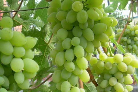 Гранатовый технический сорт винограда среднепозднего срока — ФОРУМ ВИНОГРАД