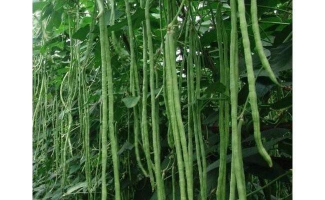 Описание вигны овощной и правила её выращивания