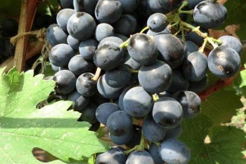 Виноград Магарача: описание сорта с характеристикой и отзывами, особенности посадки и выращивания, фото