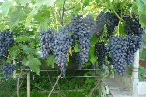 Виноград «чарли»: описание и фото сорта, отзывы о нем. Особенности выращивания в регионах и характеристики: вкус, срок созревания и устойчивость к болезням