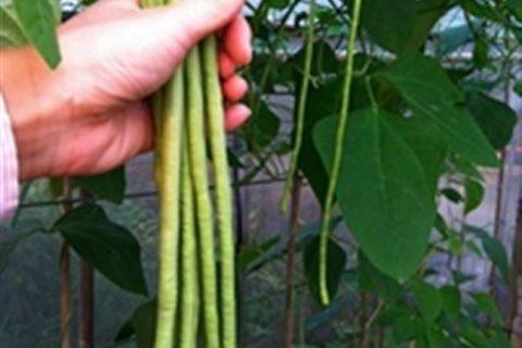 Вигна (vigna): описание растения, популярные сорта, выращивание и уход