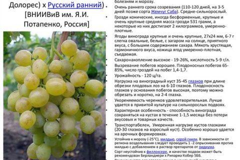 Виноград сорта Белый ранний