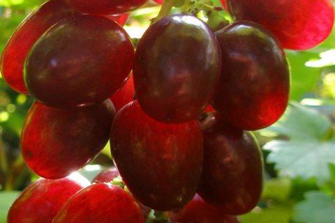 Одним из популярных и изысканных сортов растения является Туз Бордо. При его выращивании следует знать основные сортовые особенности, условия и рекомендации для большей урожайности культуры.