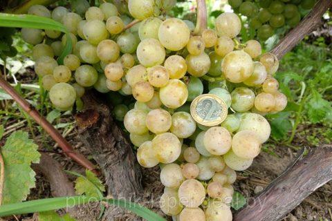 Виноград Жемчуг Сабо: описание сорта, фото, отзывы