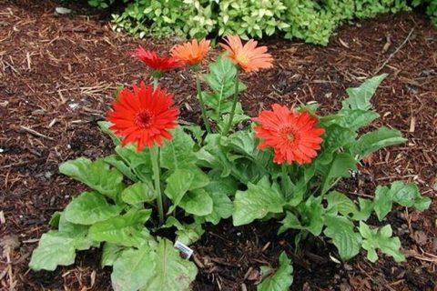 Садовая гербера — посадка и уход за цветком в открытом грунте, нюансы выращивания