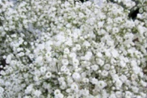 Вьюга — сорт растения Гипсофила