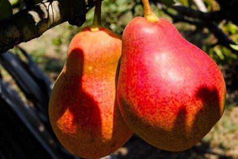 Груша Александра — Сорта груши  — Сорта плодовых культур — Саженцы почтой