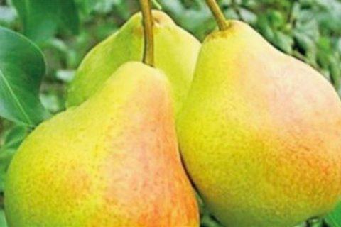 Сорта груши Башкирская летняя и Башкирская осеняя: описание, отзывы