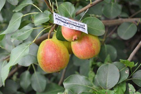 Груша «Краснобокая»: описание сорта, характеристика дерева и плодов, фото
