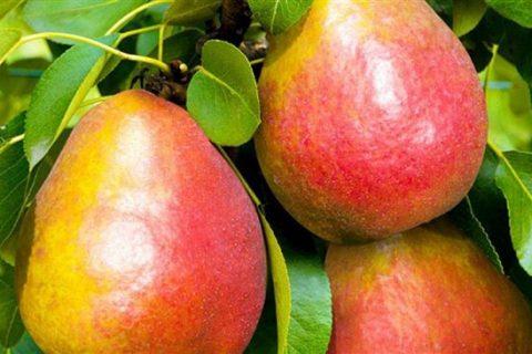 Лучшие сорта груш для Краснодарского края
