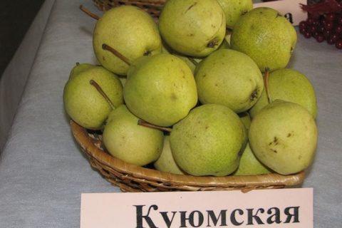 Куюмская — сорт растения Груша