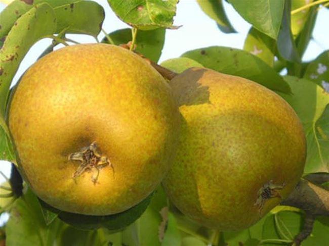 Груша Лира — описание сорта, фото, отзывы садоводов