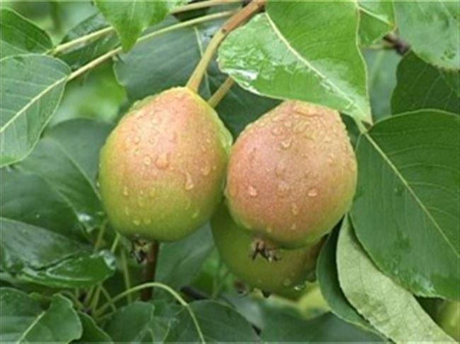 Невеличка - сорт растения Груша