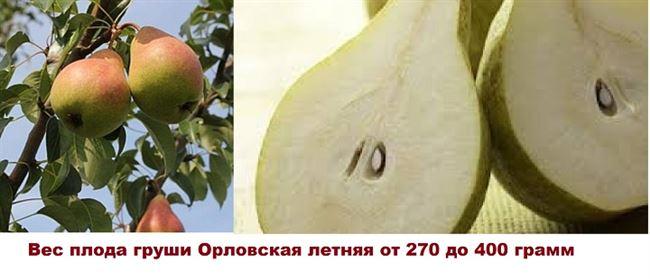 Груша Орловская летняя