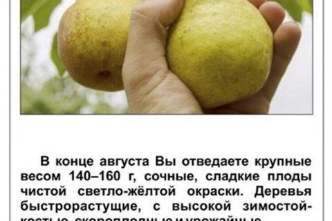Груша Пермячка: описание и характеристики сорта, особенности посадки и ухода, достоинства и недостатки