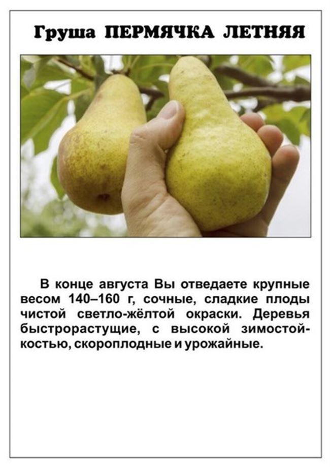 Груша Пермячка