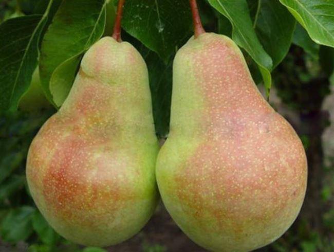 Полезный сорт для промышленного разведения — груша Самарская красавица