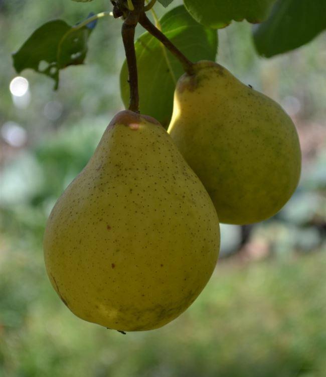 Контрастный сорт груши Светлянка: крупное дерево и мелкие фрукты