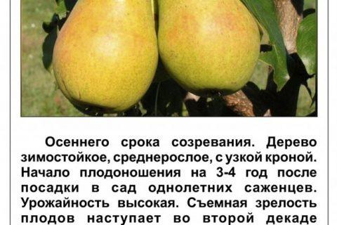 Груша Феерия: описание и характеристики сорта, посадка и уход, сбор урожая