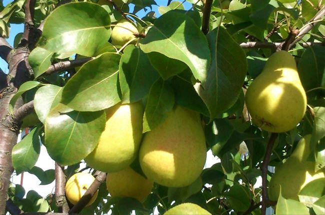 Груша Чижовская: описание сорта, особенности выращивания
