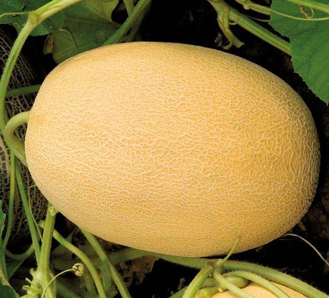 Биджоур F1 семена дыни (Vilmorin / Вильморин)
