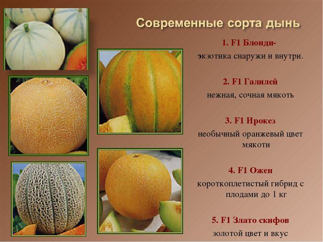 Какие гибриды и сорта дынь для средней полосы России стоит посадить?