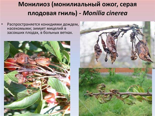 Болезни вишни: описание лечения и профилактика