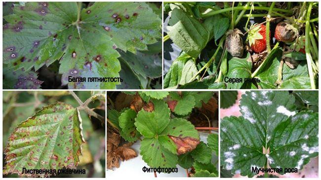 Болезни садовой земляники и их лечение