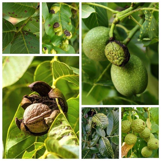 Опасные болезни грецкого ореха. Спасаем красавца